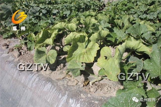 蜜瓜黄化病毒病怎么办?瓜州县蜜瓜主要病虫害防治措施来了