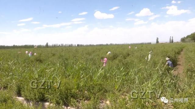 瓜州县二十万亩枸杞进入大面积采摘期
